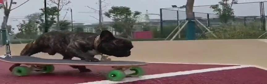 人不如狗系列,别看狗子腿短但玩起滑板太帅了,墙都不扶就服你!