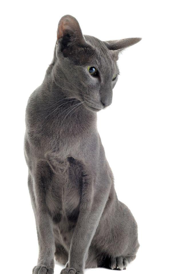 东方猫拥有中等大小的东方体形,骨骼纤细,肌肉结实富有弹性!