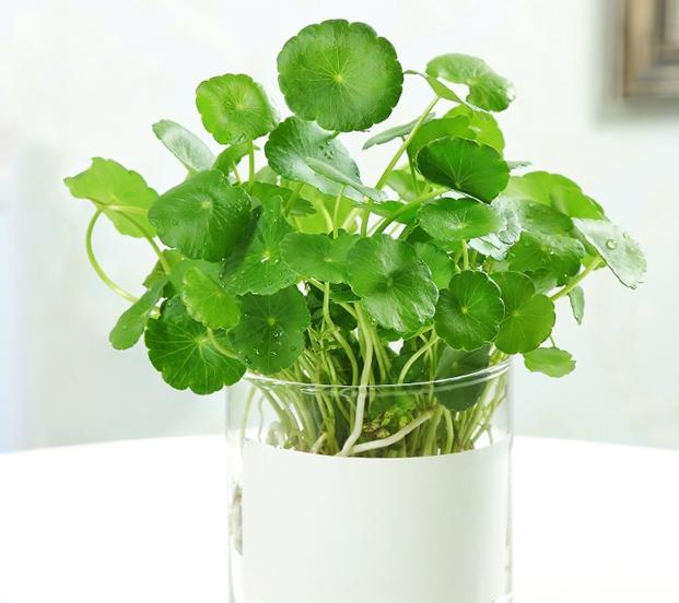 水培的绿萝吊兰,就得这么养,叶子一平时绿油油,再也不发黄!