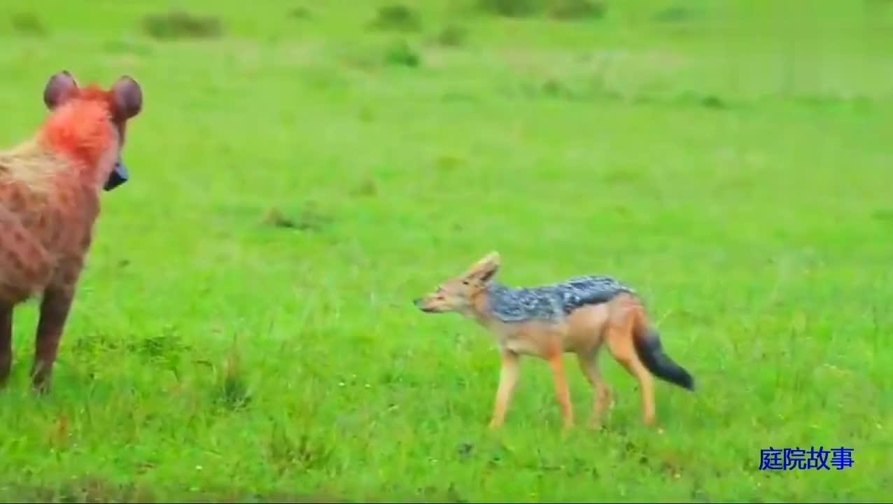 鬣狗吃播大牛羚 胡狼打秋风叼走半拉牛屁 逃到树上的狮子馋哭了