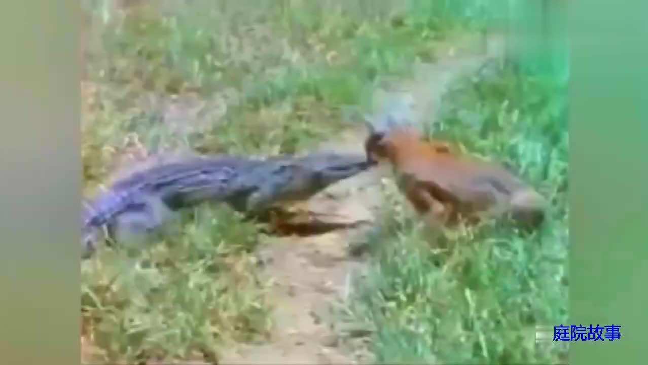 鳄鱼:猫咪是狮子老虎的师父,没人比我更知道这个典故了
