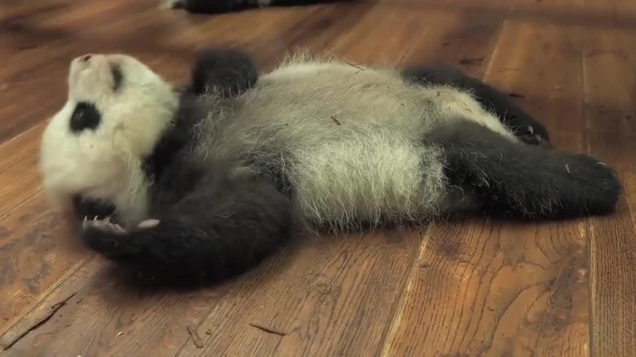 熊猫宝宝我好难呀我真的翻不过来了网友我来扶你一把