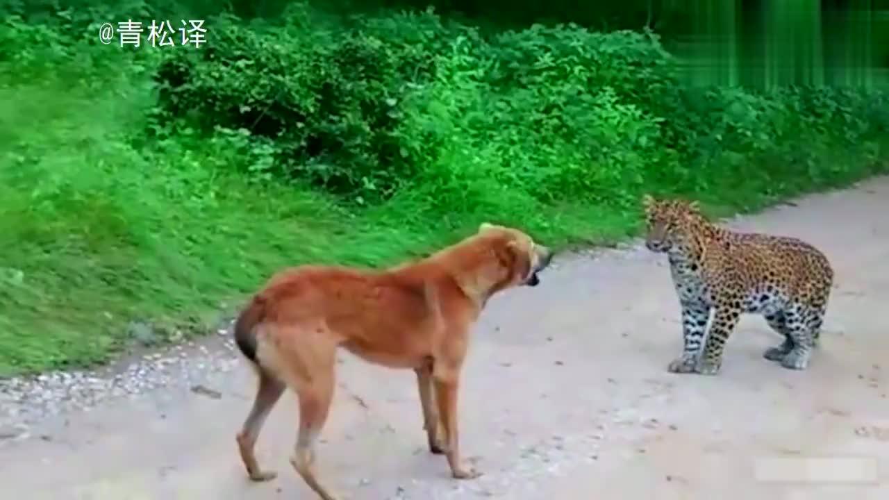 流浪狗狮子吼吓退猎豹;比特犬攻击老虎成晚餐