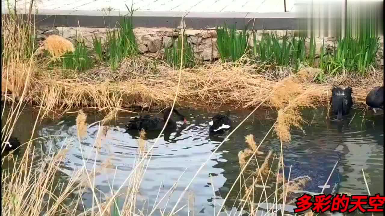 来到长春北湖湿地公园的七彩滑道,途中看到很多黑天鹅!河中戏水
