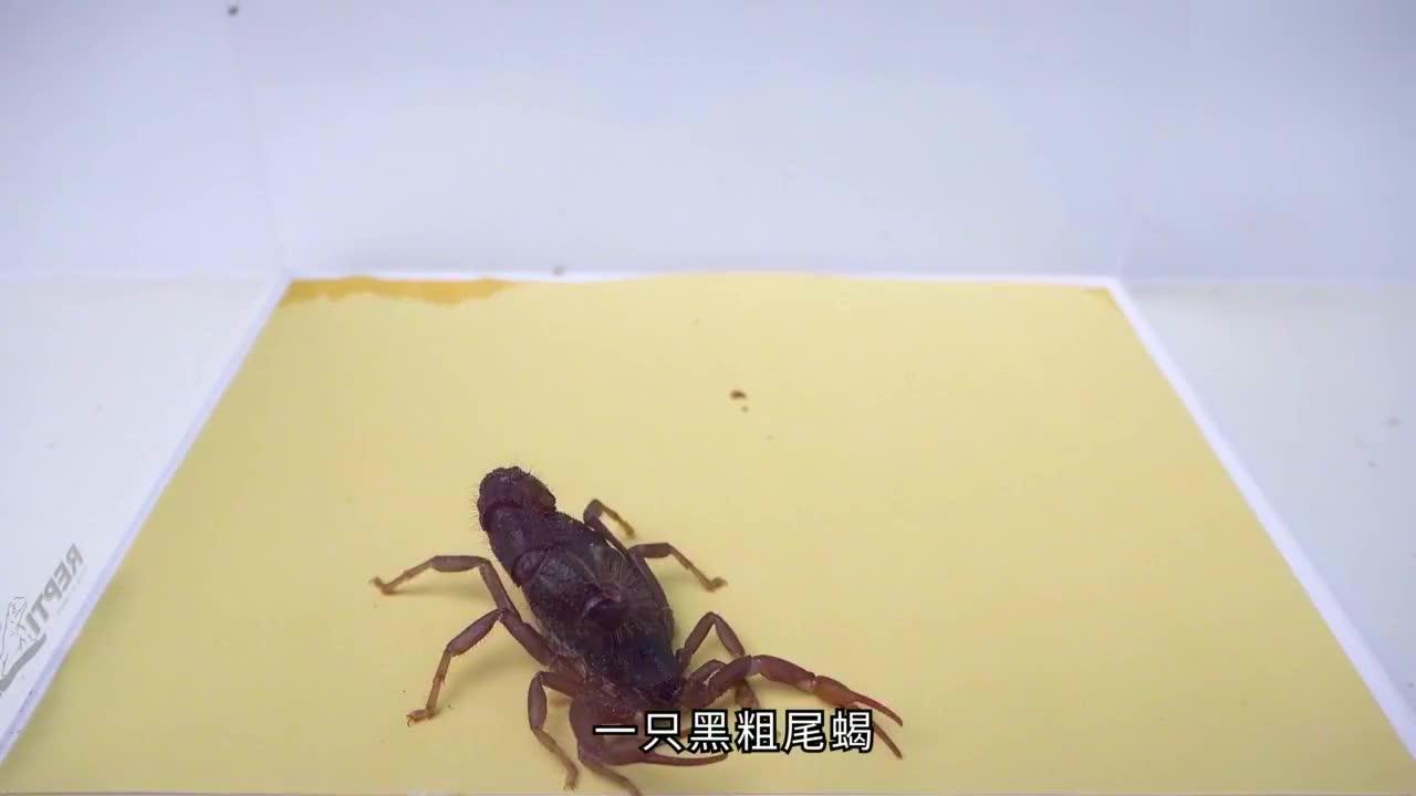 黑粗尾蝎捕食美洲大蠊,这捕食能力真强