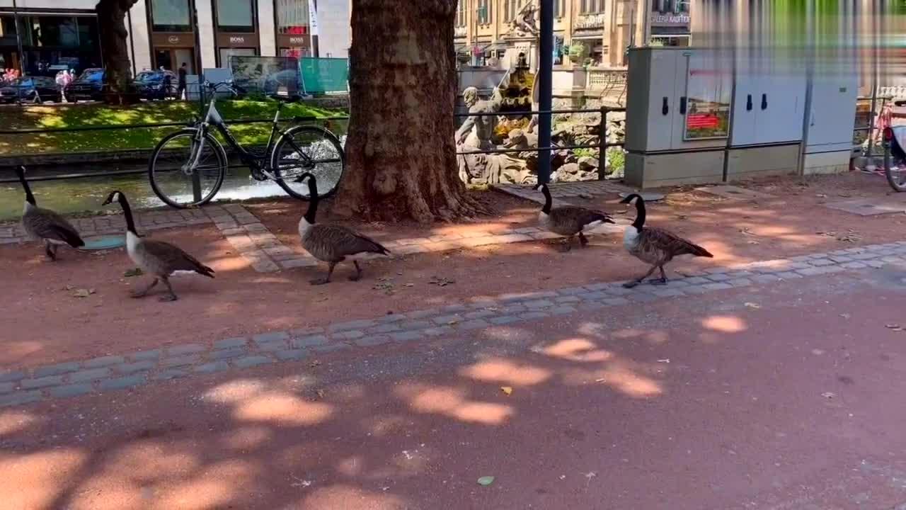 德国国王大道,鸭子守规矩,排队过马路,逗乐儿