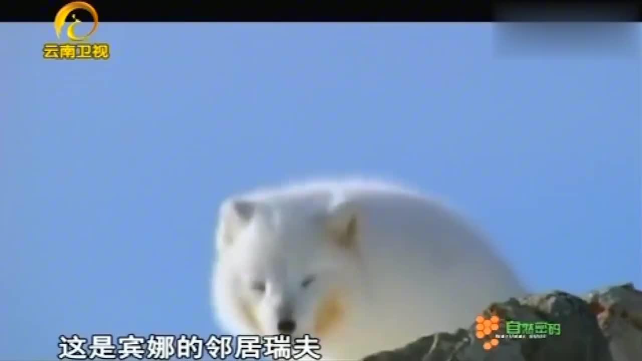 北极熊吃掉海豹的脂肪,狐狸解决剩下的肉,海豹很快就被吃光了!