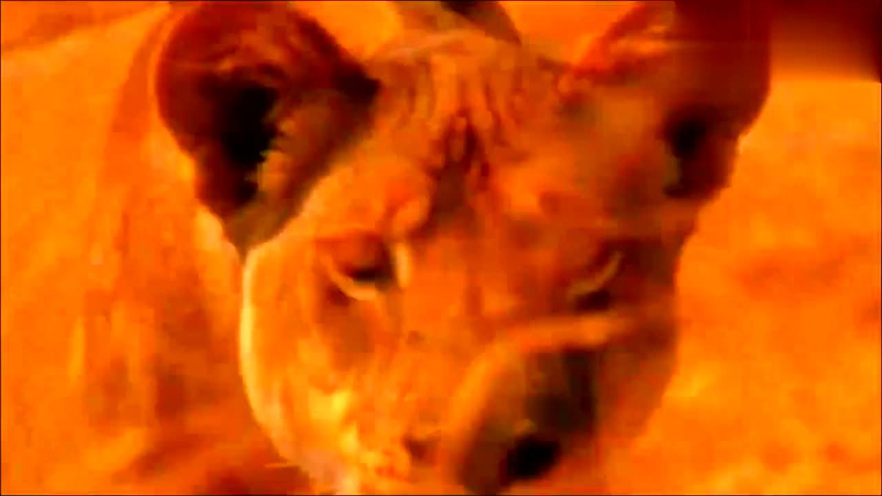 狮王太凶残了,这次低估对手,被水牛王绝地反击,狮王被彻底打残