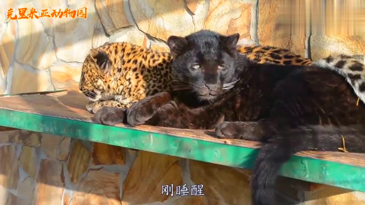 俄罗斯动物园里刚睡醒的小黑豹,打哈欠的样子太萌了