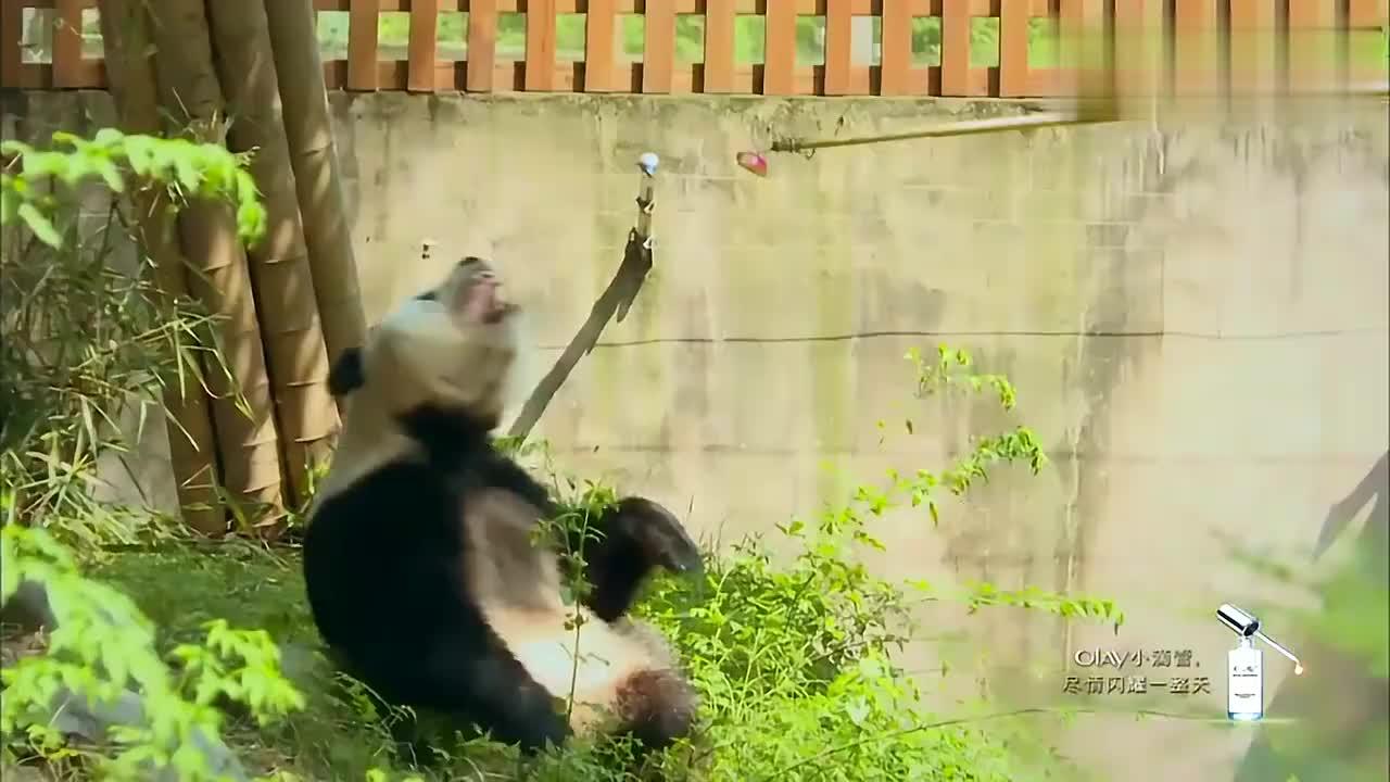 赵雅芝开心喂食,大熊猫只管专心吃窝窝头:我听不懂你在说什么!