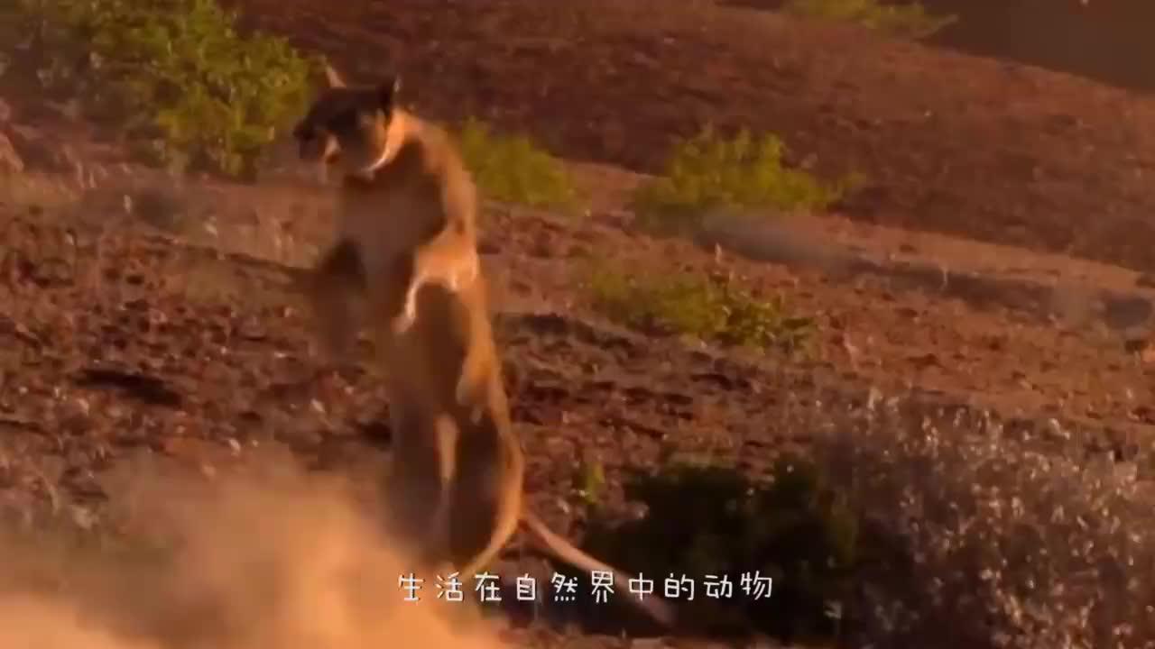 斑马不慎被鳄鱼咬住尾巴,这下在劫难逃了,谁知局势扭转了?