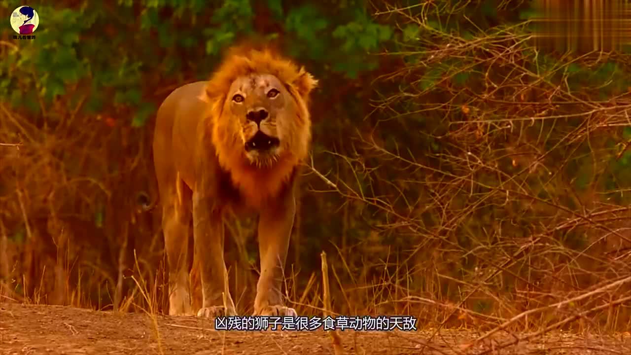 狮子母性大发,从猎豹口中救出角马宝宝,陪伴其左右令人感慨