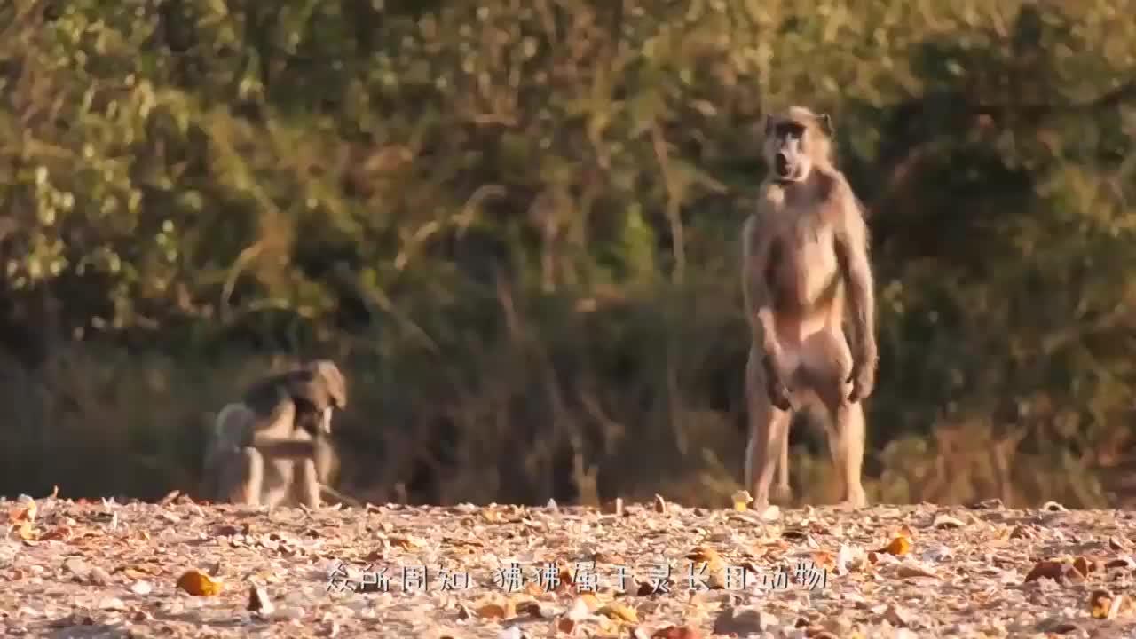 狒狒捕食火烈鸟,进食场面简直太生猛了,猎物被生吃活吞!