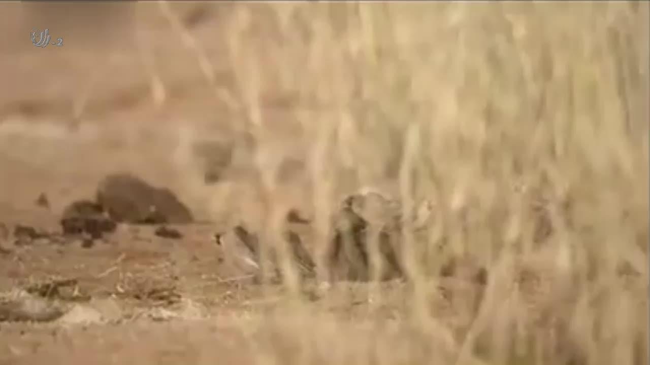 鼓蝮蝰蛇捕食鸟类,结果遭到鸟群的袭击,自己只能落荒而逃