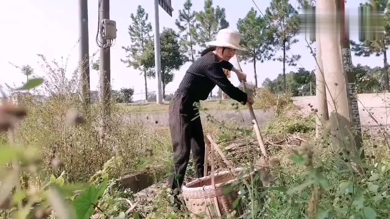 姑娘地里挖芋头,远远发现草丛不对劲,走近一看,原来草丛藏着宝