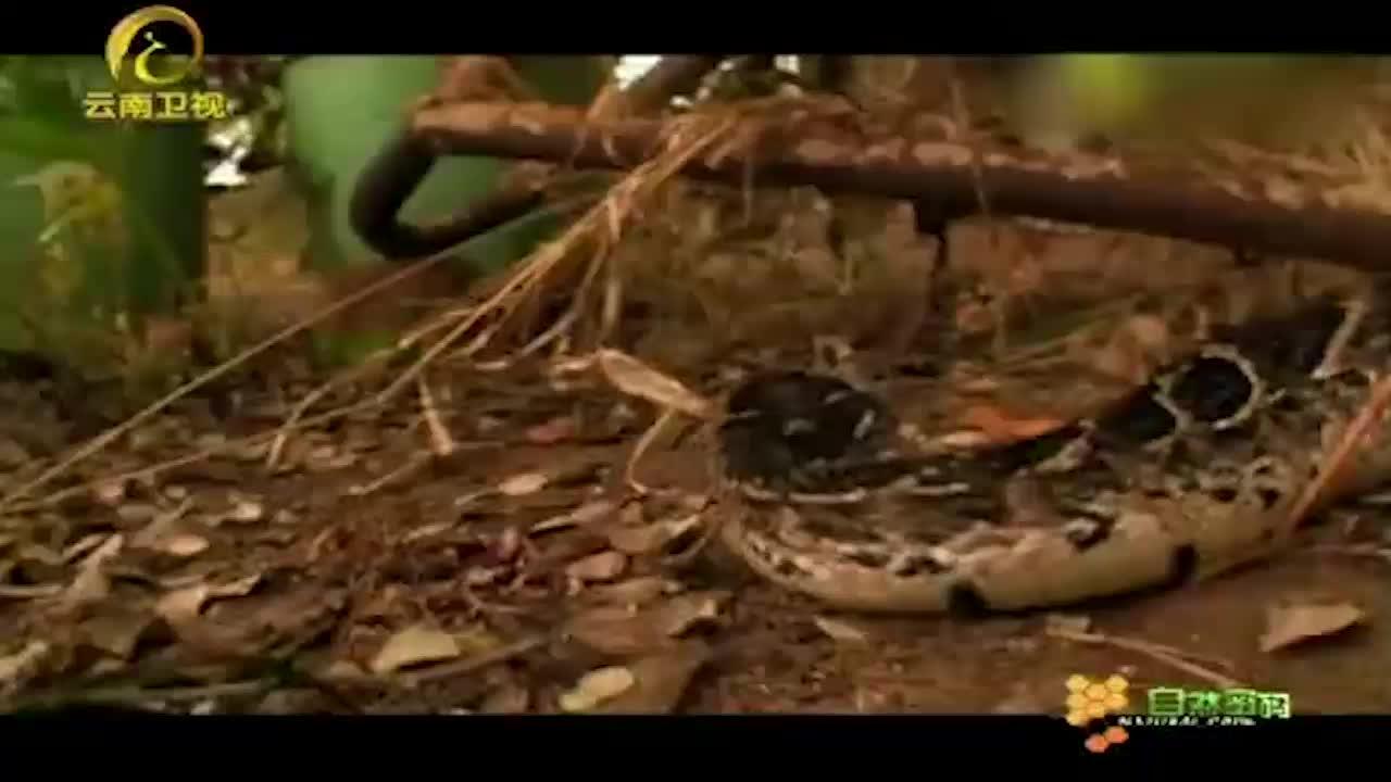鼓腹巨蝰分布范围极广,遍布一半非洲大陆!