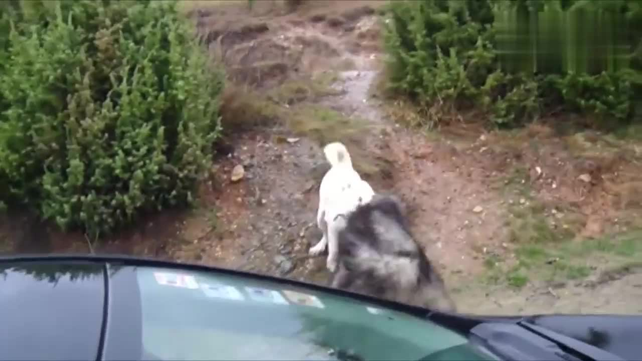 两条狗激烈地打斗起来,都是格斗高手