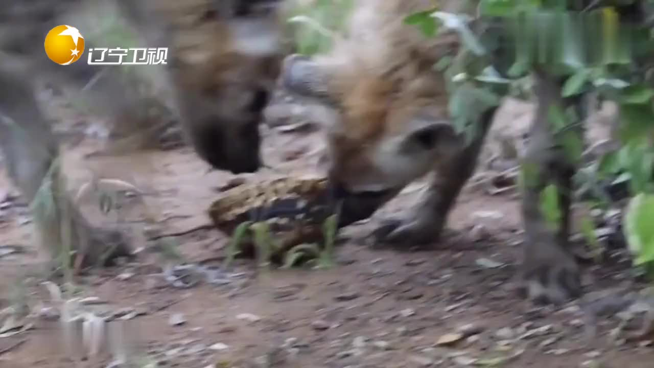 鬣狗咬合力惊人,但面对外壳坚硬的非洲龟,也是毫无办法