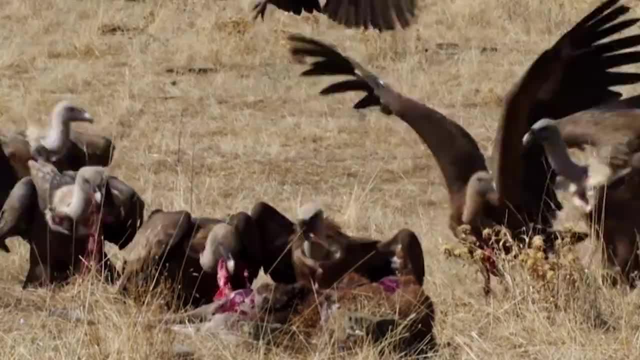 """秃鹫疯狂抢食河马尸体,下一秒""""死神""""降临,这下秃鹫遭殃了!"""
