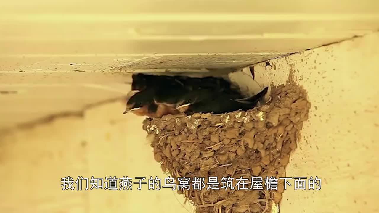 为什么鸟巢都是大门朝天,下暴雨不就完了?看完才知道真相!