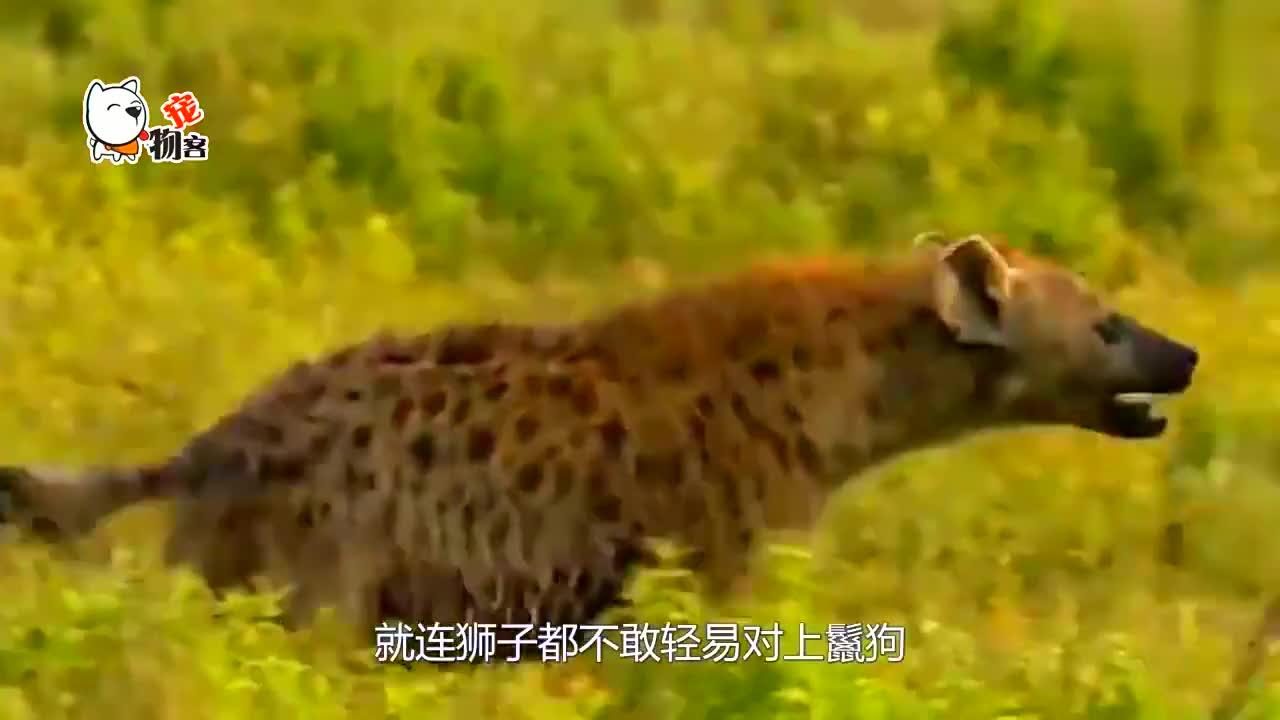 饿疯的鬣狗抢狮子食物,悲剧却来得太快,镜头拍下全过程