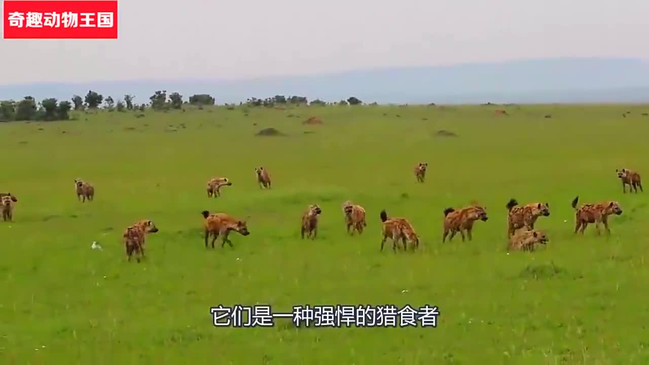 断腿鬣狗被狮子埋伏,然而最后却放走了鬣狗,镜头拍下全过程!