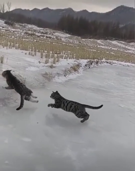两只猫在冰上打斗,当它腾空翻身的那一幕,直接把我看愣了