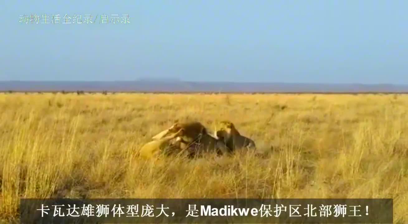卡瓦达雄狮:以一挑二!击败2头入侵雄狮,捍卫领地