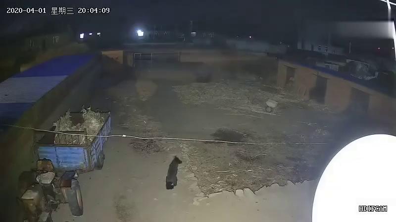 家里的监控录像拍到的影像,狗子在家号忠心啊
