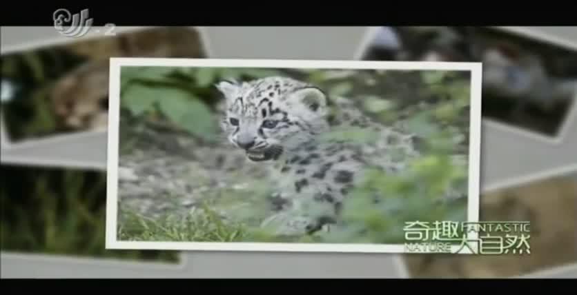 小雪豹,它们在两个月后就要学习捕猎了,这对它们来说非常重要
