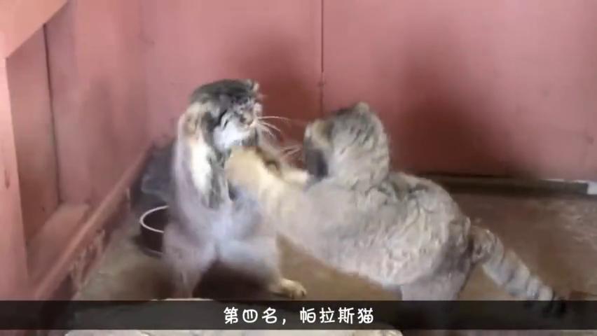 世界上4种被禁止养的猫,帕斯拉猫上榜,最后一种养不起