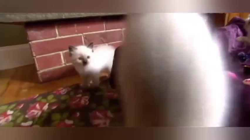 布娃娃般的小猫咪太可爱了!各种顽皮和卖萌!