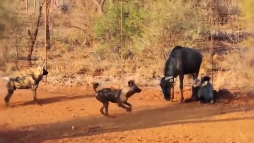 当在大草原遇到猎狗群,无一能幸存,共同点都被掏肛