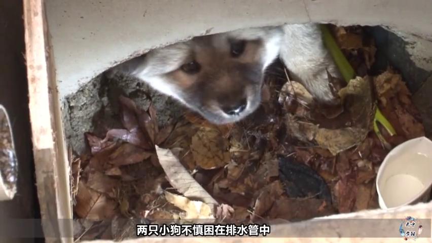 可爱小狗跌落排水管,在冷雨夜瑟瑟发抖,还能活下来吗?