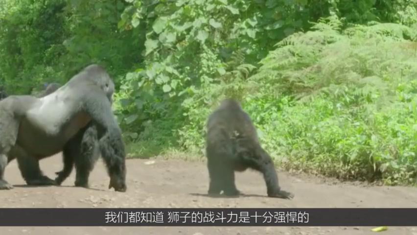 如果狮子和银背大猩猩打一架,谁的胜算最大?老虎:还用说吗?