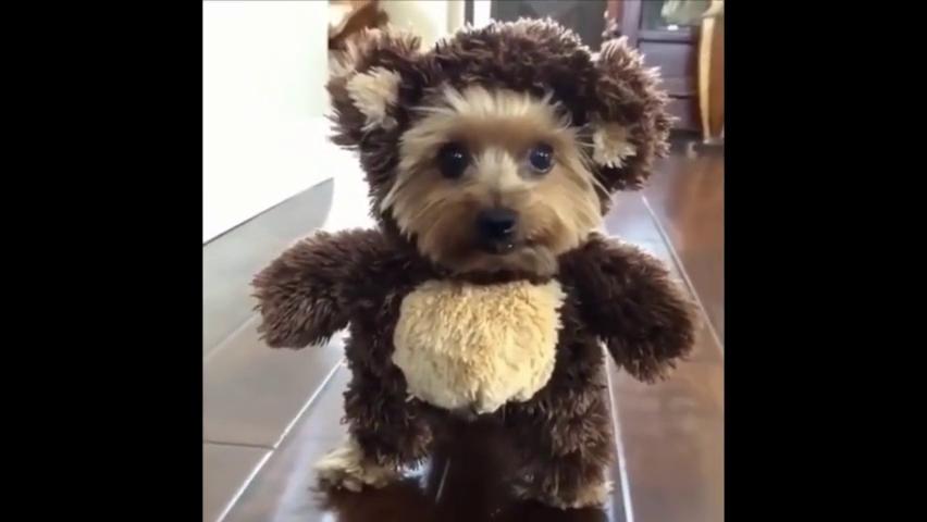 小狗狗躲在布娃娃后面,活脱脱像一只小熊!