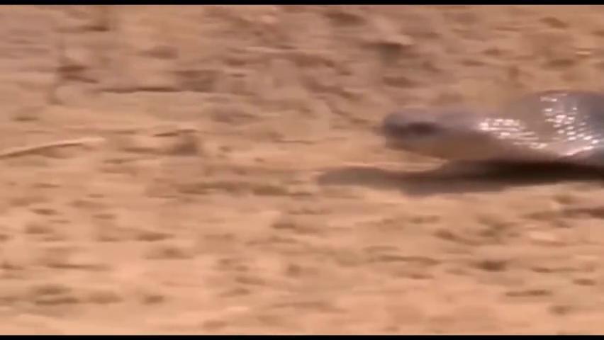 沙漠中的眼镜蛇率先向猫鼬发起攻击,没想到先逃走的也是自己