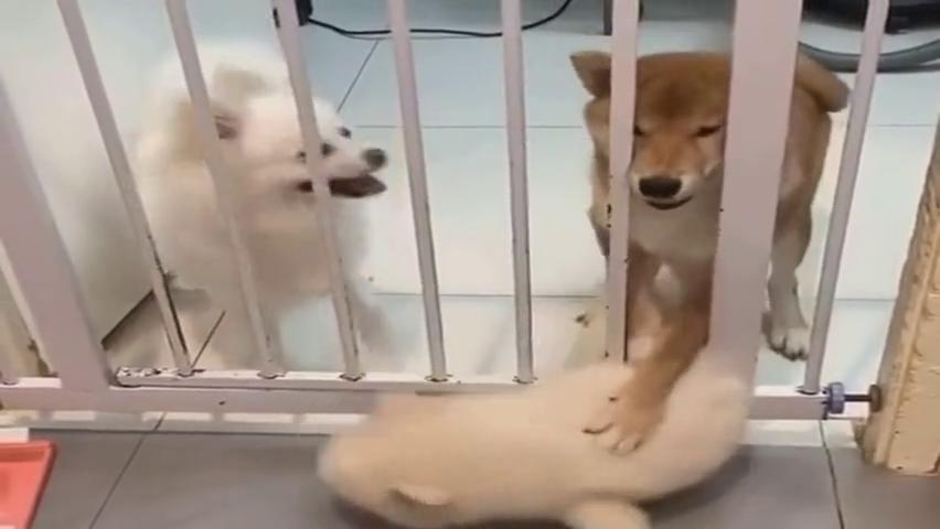 这绝对是一只坏柴犬,硬是把小奶狗按在地上不放行,太可恶了