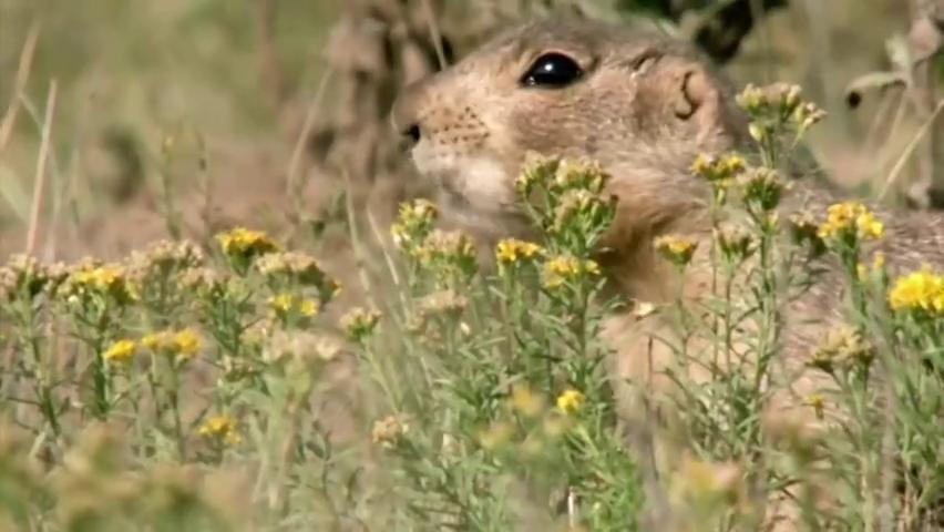 生命之轮:犬鼠在洞穴附近觅食,穴鸮从窝里出现看着它们