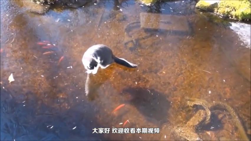 """猫咪费劲心思抓冰下的鱼,却在冰上开始""""滑冰"""",鱼:傻猫无疑"""