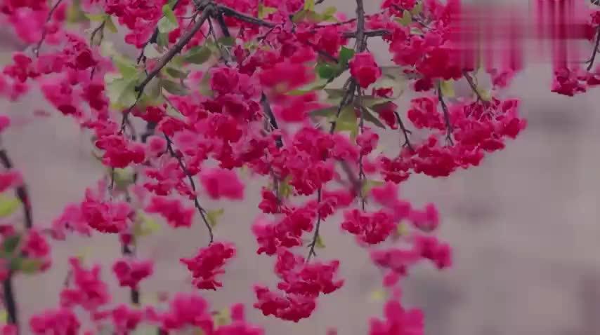 桃花妖死后,为心爱的女子下了最后一场桃花雨,凄美心痛