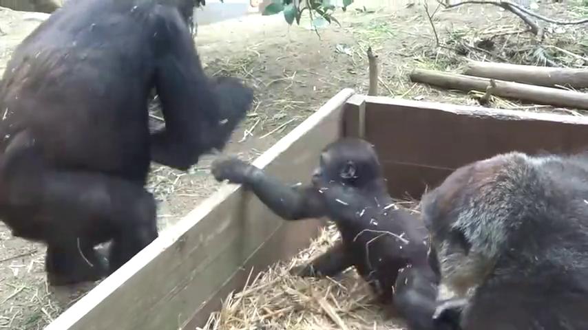 """动物园惊现""""猩贩子"""",想尽办法偷小猩猩,猩妈反应亮了"""