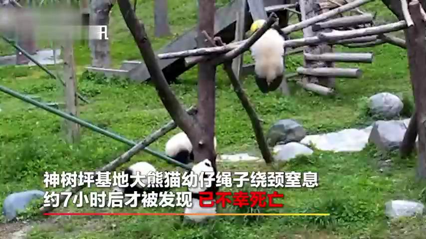 四川大熊猫幼仔绳子绕颈窒息死亡网友凌晨看直播时发现异常