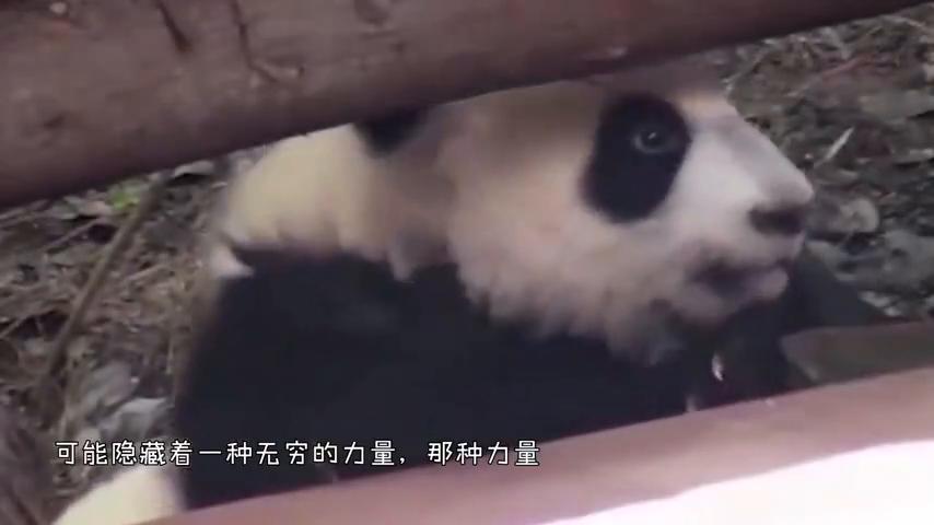 这是我看过的最牛熊猫越狱,别说是虚胖,说功夫熊猫我都信!