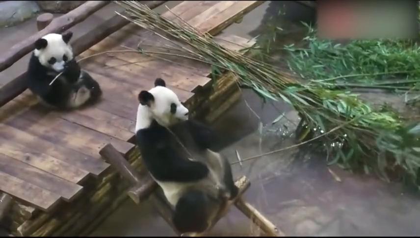 熊猫胖胖吃竹子,可爱幸福瞬间,最让人过瘾的视频!