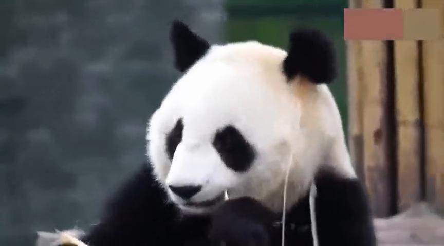 熊猫的智商有多高竹子太长不好咬还知道掰断