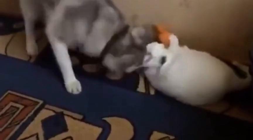 猫咪这么可爱,你竟然下得去手!二哈你真是是狗界的耻辱呀!
