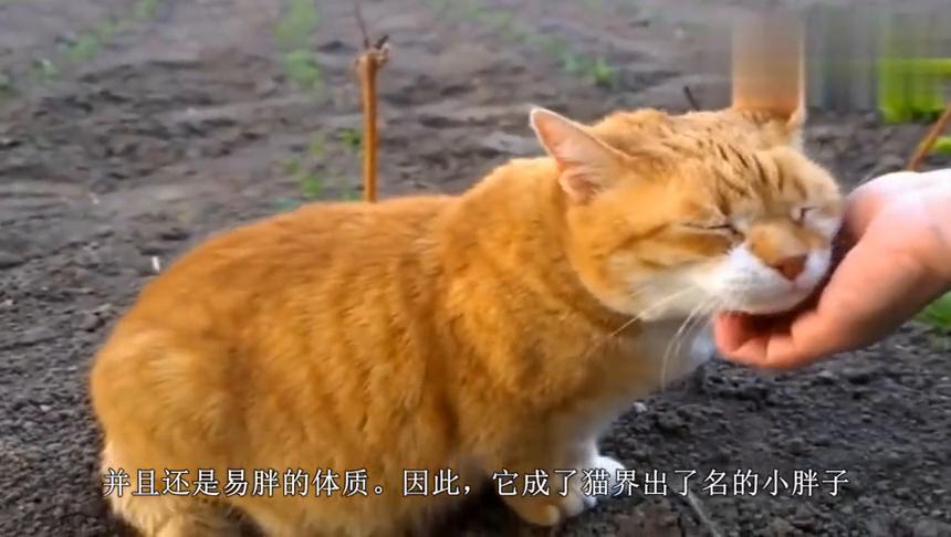 十橘九胖,这只橘猫剃完毛就有肌肉!橘猫:都说了我不是虚胖!