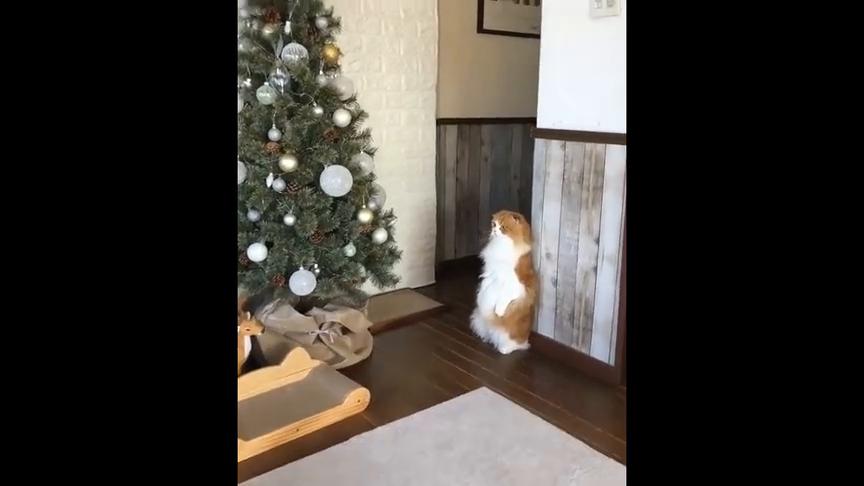 猫看圣诞树看太入迷了,这站着腿不酸啊