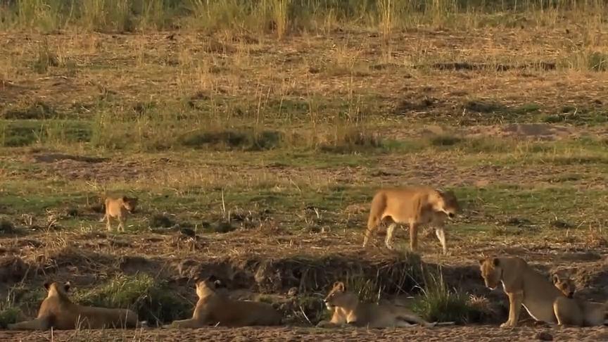 大猫系列:小狮子为了追上狮群早已精疲力尽,他还能北上吗?